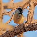 Charitospiza eucosma - Coal-crested Finch.jpg