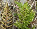 Cheilanthes sp. - Flickr - pellaea.jpg