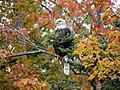 Chequamegon-Nicolet National Forest - Bald eagle - Oct 2017.jpg
