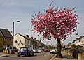 Cherry on Goldstone Road - geograph.org.uk - 1832365.jpg
