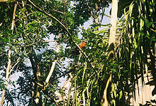 Chestnut-breasted Malkoha.jpg