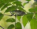 Chestnut-sided Warbler (works) (31808079644).jpg