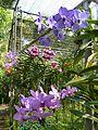 Chiang Mai Orchids P1110390.JPG