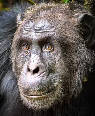 Common chimpanzee - Close-up of face, at Kibale National Park, Uganda