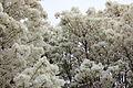 Chionanthus retusus - Chinese Fringetree - 5.jpg