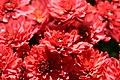 Chrysanthemum Helen 0zz.jpg