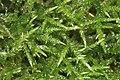 Cirriphyllum piliferum (d, 144837-474708) 6150.JPG