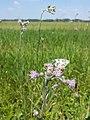 Cirsium brachycephalum sl9.jpg