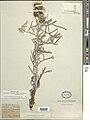 Cirsium pitcheri Door County Wisconsin.jpg