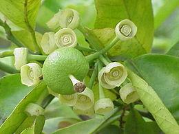 Citrus maxima2