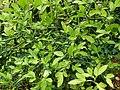 Citrus trifoliata, Parc floral.jpg