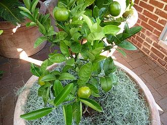 Murcott (fruit) - Citrus x nobilis 'W. Murcott', in the Linnean House of the Missouri Botanical Garden