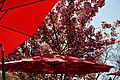 City of London Cemetery and Crematorium ~ Café red umbrellas; pink blossom.jpg