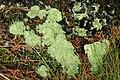 Cladonia.caespiticia2.-.lindsey.jpg