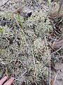Cladonia uncialis 46555248.jpg