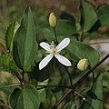 Clematis terniflora (flower s4).jpg
