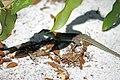 Cnemidophorus (Whiptail Lizard).JPG