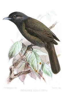 Cnipolegusorenocensis.JPG