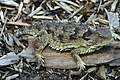 Coast Horned Lizard (9096387129).jpg