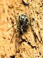Cobweb Spider (28709245713).jpg