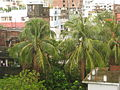 Coconut trees after a rain in Dhanmondi, Dhaka.JPG