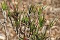 Codiaeum variegatum Picassos Paintbrush 0zz.jpg