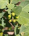 Coelospermum fruit.jpg