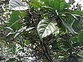 Coffea robusta-tree-yercaud-salem-India.JPG
