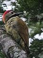 Colaptes rubiginosus Carpintero cariblanco Golden-olive Woodpecker (female) (6443396473).jpg