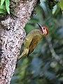 Colaptes rubiginosus Carpintero cariblanco Golden-olive Woodpecker (male) (8584363520).jpg