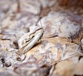 Coleophora sp (34060437933).jpg