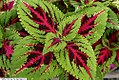 Coleus Color Pride 1zz.jpg