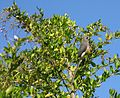 Colius White-backed mousebird feeding on Duranta berries 9861.jpg