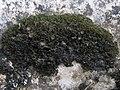 Collema cristatum (L.) F.H. Wigg 301188.jpg