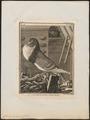 Columba domestica var. gutturosa - 1700-1880 - Print - Iconographia Zoologica - Special Collections University of Amsterdam - UBA01 IZ18900147.tif
