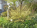 Colylopsis pauciflora0.jpg