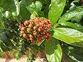 Combretum constrictum - Powderpuff Combretum 2014 (9).jpg