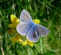 Common Blue - Flickr - gailhampshire.jpg
