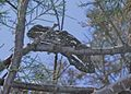 Common Chameleon (Chamaeleo chamaeleon) (6161791176).jpg