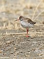Common Redshank (Tringa totanus) (35825996093).jpg