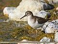 Common Sandpiper (Actitis hypoleucos) (24721834687).jpg
