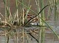 Common Snipe (Gallinago gallinago) near Hodal, Haryana W IMG 6473.jpg