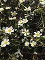 Common Water-Crowfoot (Ranunculus peltatus),Israel.JPG