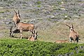 Common elands at Cape of Good Hope 02.jpg