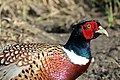 Common pheasant (Phasianus colchicus) male.jpg