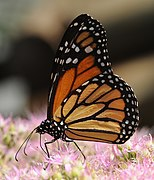 ComputerHotline - Danaus plexippus (by) (2).jpg