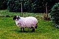 Connemara - Kylemore Abbey - Sheep at the Chapel - geograph.org.uk - 1630215.jpg
