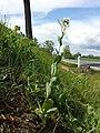 Conringia orientalis sl15.jpg