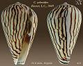 Conus zebroides 5.jpg