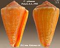 Conus zylmanae 2.jpg